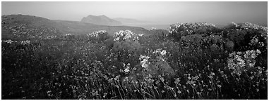 Wildflowers and early coastal mist, Anacapa Island. Channel Islands National Park (Panoramic black and white)