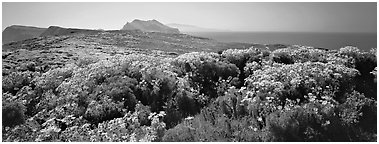 Field of Coreopsis in bloom, Anacapa Island. Channel Islands National Park (Panoramic black and white)
