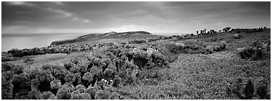 Carpet of iceplant and Coreopsis, Anacapa Island. Channel Islands National Park (Panoramic black and white)