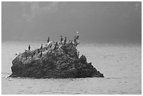 Rock covered with cormorants and pelicans, Santa Cruz Island. Channel Islands National Park ( black and white)