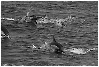 Dolphins jumping out of ocean water. Channel Islands National Park ( black and white)