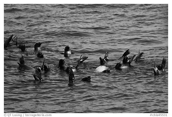 Raft of sea lions in ocean. Channel Islands National Park (black and white)