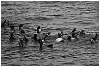 Raft of sea lions in ocean. Channel Islands National Park ( black and white)