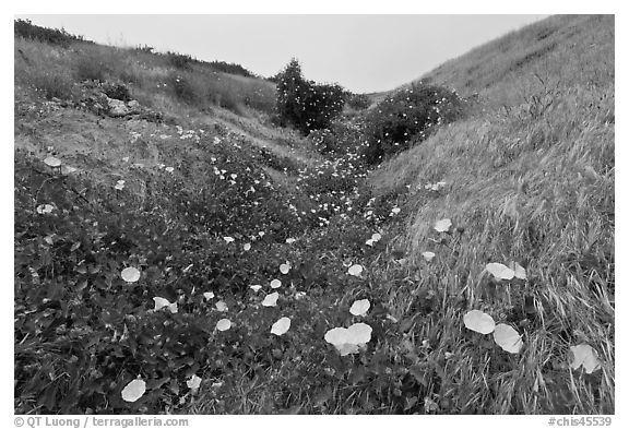 Wild Morning Glory in gully, Santa Cruz Island. Channel Islands National Park (black and white)