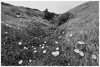 Wild Morning Glory in gully, Santa Cruz Island. Channel Islands National Park ( black and white)