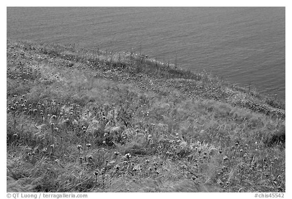 Wildflowers and wind-blown grasses on coastal bluff, Santa Cruz Island. Channel Islands National Park (black and white)