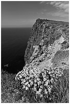 Coreopsis and cliff, Cavern Point, Santa Cruz Island. Channel Islands National Park ( black and white)
