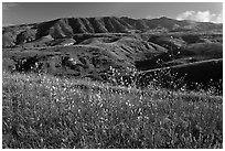 Mustard in bloom and interior hills, Santa Cruz Island. Channel Islands National Park ( black and white)
