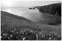 Wild Morning Glories and Scorpion Anchorage, sunrise, Santa Cruz Island. Channel Islands National Park ( black and white)