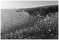 Mustard in bloom and seacliffs, Scorpion Anchorage, Santa Cruz Island. Channel Islands National Park ( black and white)