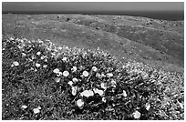 Wild Morning Glory flowers, hills, and ocean, Santa Cruz Island. Channel Islands National Park ( black and white)