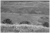 Mustard flowers and rolling hills, Santa Cruz Island. Channel Islands National Park ( black and white)