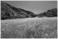 Wildflowers and grasses, Cherry Canyon, Santa Rosa Island. Channel Islands National Park ( black and white)