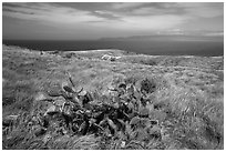 Cactus on marine terrace, Santa Rosa Island. Channel Islands National Park ( black and white)