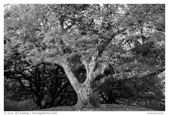 Island Oak (Quercus tomentella) and wind, Santa Rosa Island. Channel Islands National Park (black and white)