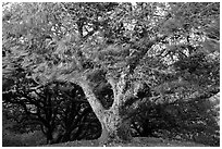 Island Oak (Quercus tomentella) and wind, Santa Rosa Island. Channel Islands National Park ( black and white)