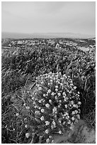 Wildflowers at dusk, Santa Rosa Island. Channel Islands National Park ( black and white)
