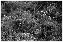 Native flowers, Lobo Canyon, Santa Rosa Island. Channel Islands National Park ( black and white)