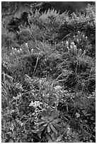 Lush slope with flowers and shrubs in Lobo Canyon, Santa Rosa Island. Channel Islands National Park ( black and white)