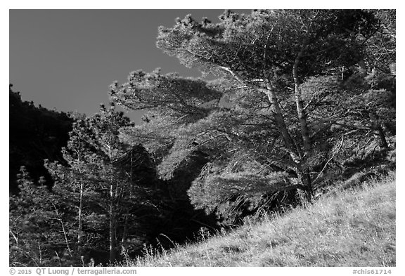 Santa Rosa Island Torrey Pines, Santa Rosa Island. Channel Islands National Park (black and white)