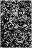 Fallen Torrey Pine cones, Santa Rosa Island. Channel Islands National Park ( black and white)