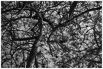 Looking up Torrey Pine, Santa Rosa Island. Channel Islands National Park ( black and white)