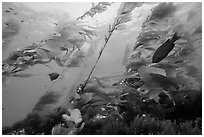 Fish and giant kelp plants, Santa Barbara Island. Channel Islands National Park ( black and white)