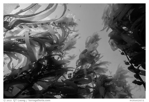 Looking up kelp canopy underwater, Santa Barbara Island. Channel Islands National Park (black and white)