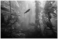 Fish in kelp forest, Santa Barbara Island. Channel Islands National Park ( black and white)