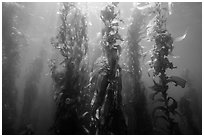 Giant kelp, Macrocystis pyrifera, Santa Barbara Island. Channel Islands National Park ( black and white)