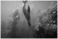 California sea lion diving in kelp forest, Santa Barbara Island. Channel Islands National Park ( black and white)