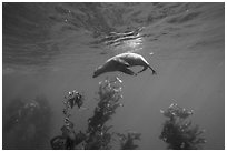 California sea lion under water surface above kelp, Santa Barbara Island. Channel Islands National Park ( black and white)
