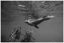 California sea lion swiming underwater, Santa Barbara Island. Channel Islands National Park ( black and white)