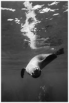 Sea lion swimming upside down with surface reflection, Santa Barbara Island. Channel Islands National Park ( black and white)