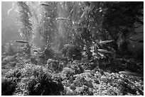 Ocean floor, fish, and kelp forest, Santa Barbara Island. Channel Islands National Park ( black and white)