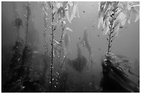Giant kelp, pneumatocysts, and fish, Santa Barbara Island. Channel Islands National Park ( black and white)