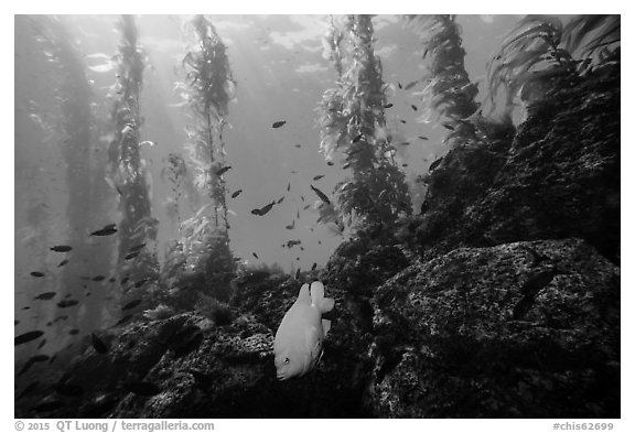 Garibaldi fish, rocky reef, and kelp, Santa Barbara Island. Channel Islands National Park (black and white)