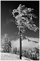 Frost-covered pine tree. Crater Lake National Park, Oregon, USA. (black and white)