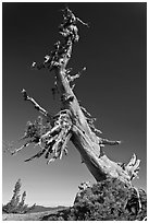 Ancient Whitebark pine and lichen. Crater Lake National Park, Oregon, USA. (black and white)