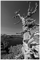 Whitebark pine tree and lake. Crater Lake National Park ( black and white)