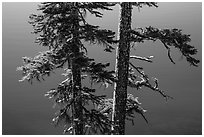 Two tree trunks with lichen profiled agains blue waters, Wizard Island. Crater Lake National Park ( black and white)
