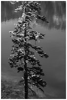 Tree and transparent blue waters, Wizard Island. Crater Lake National Park ( black and white)