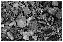 Ground close-up with pumice rocks and fallen branch with needles, Wizard Island. Crater Lake National Park ( black and white)