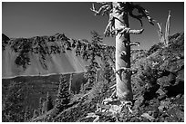 Massive trunk of whitebark pine near Wizard Island summit. Crater Lake National Park ( black and white)