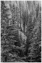 Hemlock in Munson Creek canyon. Crater Lake National Park ( black and white)