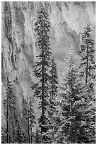 Trees and fossilized ash wall, Munson Creek. Crater Lake National Park ( black and white)