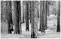 Pines in Cedar Grove. Kings Canyon National Park ( black and white)