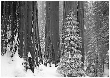 Sequoias in winter snow storm, Grant Grove. Kings Canyon National Park, California, USA. (black and white)