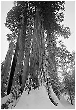 Giant Sequoia trees (Sequoia giganteum) in winter, Grant Grove. Kings Canyon National Park ( black and white)