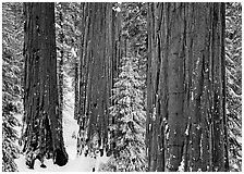 Sequoias (Sequoiadendron giganteum) and pine trees covered with fresh snow, Grant Grove. Kings Canyon National Park ( black and white)
